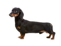 Dog breed dachshund. On white background Stock Photography