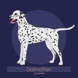 Dog breed Dalmatian Stock Image