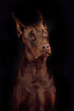 Dog breed Doberman brown color on a black background in the Stud Royalty Free Stock Photos