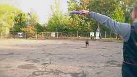 Dog breed Doberman jumps and tries to catch a toy