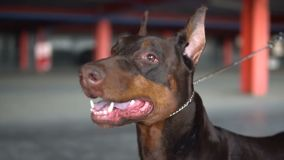 The dog breed Doberman opened his mouth close-up