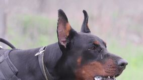 Dog breed Doberman Pinscher, guards the territory and barks at the robber.