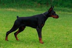 Dog breed Doberman Pinscher Stock Photos