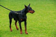 Dog breed Doberman Pinscher Stock Photography