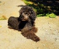 Dog Breed, Dog Like Mammal, Dog, Standard Poodle stock image