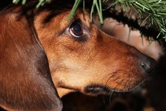 Red dog dwarf dachshund under the tree branch. Dog of the breed dwarf dachshund under the branch of the Christmas tree with an unreadable gaze, it will not leave Royalty Free Stock Images
