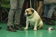 English Bulldog Photo from the National Dog Show in Nowy Dwór Mazowiecki in Poland. Dog of breed: English Bulldog Photo taken on the National Dog Show in Nowy royalty free stock images