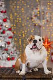Dog breed English bulldog under the Christmas new year tree sitting on basket close to presents happy smiling.  Stock Image