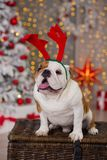 Dog breed English bulldog under the Christmas new year tree sitting on basket close to presents happy smiling.  Stock Images