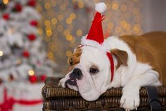 Dog breed English bulldog under the Christmas new year tree sitting on basket close to presents happy smiling.  Stock Photography
