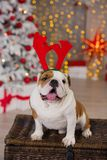 Dog breed English bulldog under the Christmas new year tree sitting on basket close to presents happy smiling.  Royalty Free Stock Images