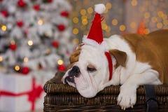 Dog breed English bulldog under the Christmas new year tree sitting on basket close to presents happy smiling.  Stock Photo