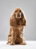 Dog breed English Spaniel Royalty Free Stock Images