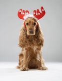 Dog breed English spaniel with Christmas antlers Royalty Free Stock Photo