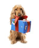Dog breed English Spaniel gives a gift Royalty Free Stock Photos