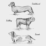 Dog breed engraved, hand drawn vector illustration in woodcut scratchboard style, vintage species. Stock Images