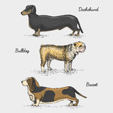 Dog breed engraved, hand drawn vector illustration in woodcut scratchboard style, vintage species. Stock Image