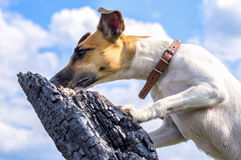 Dog breed fox terrier against the blue sky Royalty Free Stock Image