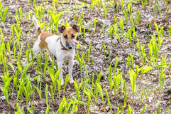 Dog breed fox terrier on a green meadow lily of the valley Stock Photo