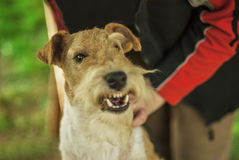 Dog breed Fox-Terrier Royalty Free Stock Image