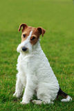 Dog breed Fox terrier Stock Photo