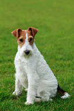 Dog breed Fox terrier Stock Photos