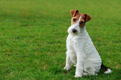 Dog breed Fox terrier Royalty Free Stock Image