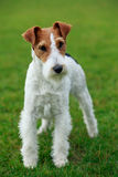 Dog breed Fox terrier. Stand on a green grass Stock Photography