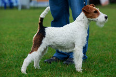 Dog breed Fox terrier Stock Images