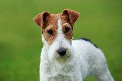 Dog breed Fox terrier Royalty Free Stock Photos