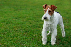 Dog breed Fox terrier. Stand on a green grass Royalty Free Stock Photo