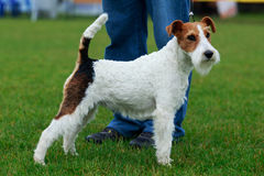 Dog breed Fox terrier Stock Image