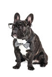 Dog breed French Bulldog in glasses Royalty Free Stock Photo