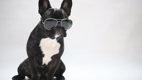 Dog breed French Bulldog in glasses. Sits and licks