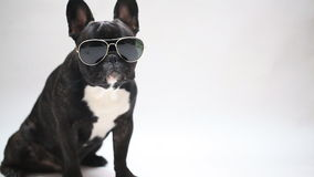 Dog breed French Bulldog in glasses stock footage