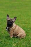Dog breed French Bulldog Stock Images