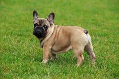 Dog breed French Bulldog Royalty Free Stock Photography