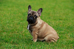 Dog breed French Bulldog Royalty Free Stock Images