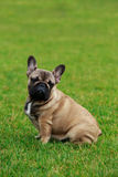 Dog breed French Bulldog Stock Image