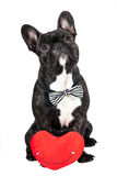 Dog breed French bulldog and heart Royalty Free Stock Images