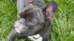 Dog breed French Bulldog lying. On the grass stock video
