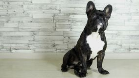 Dog breed French bulldog sitting stock video footage