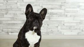 Dog breed French bulldog sitting stock footage