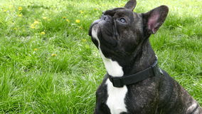 Dog breed French bulldog sitting. On green grass stock video footage