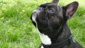 Dog breed French bulldog sitting. On green grass stock footage