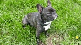 Dog breed French bulldog sitting. On green grass stock video