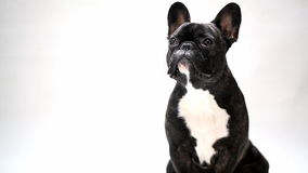 Dog breed French bulldog. Sitting and looking stock footage