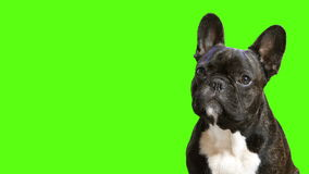 Dog breed French bulldog. Sitting and looking stock video footage
