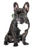 Dog breed French bulldog Stock Photos
