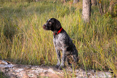 Dog breed German Pointer stock photos